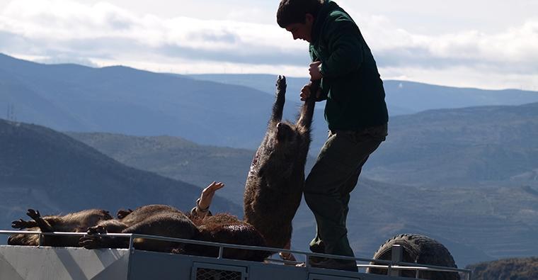Gravísimo problema de peste porcina africana