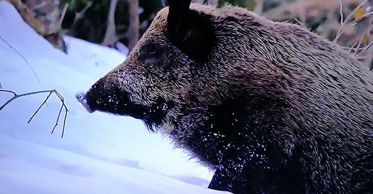 La amenaza de la peste porcina africana genera  preocupación en España